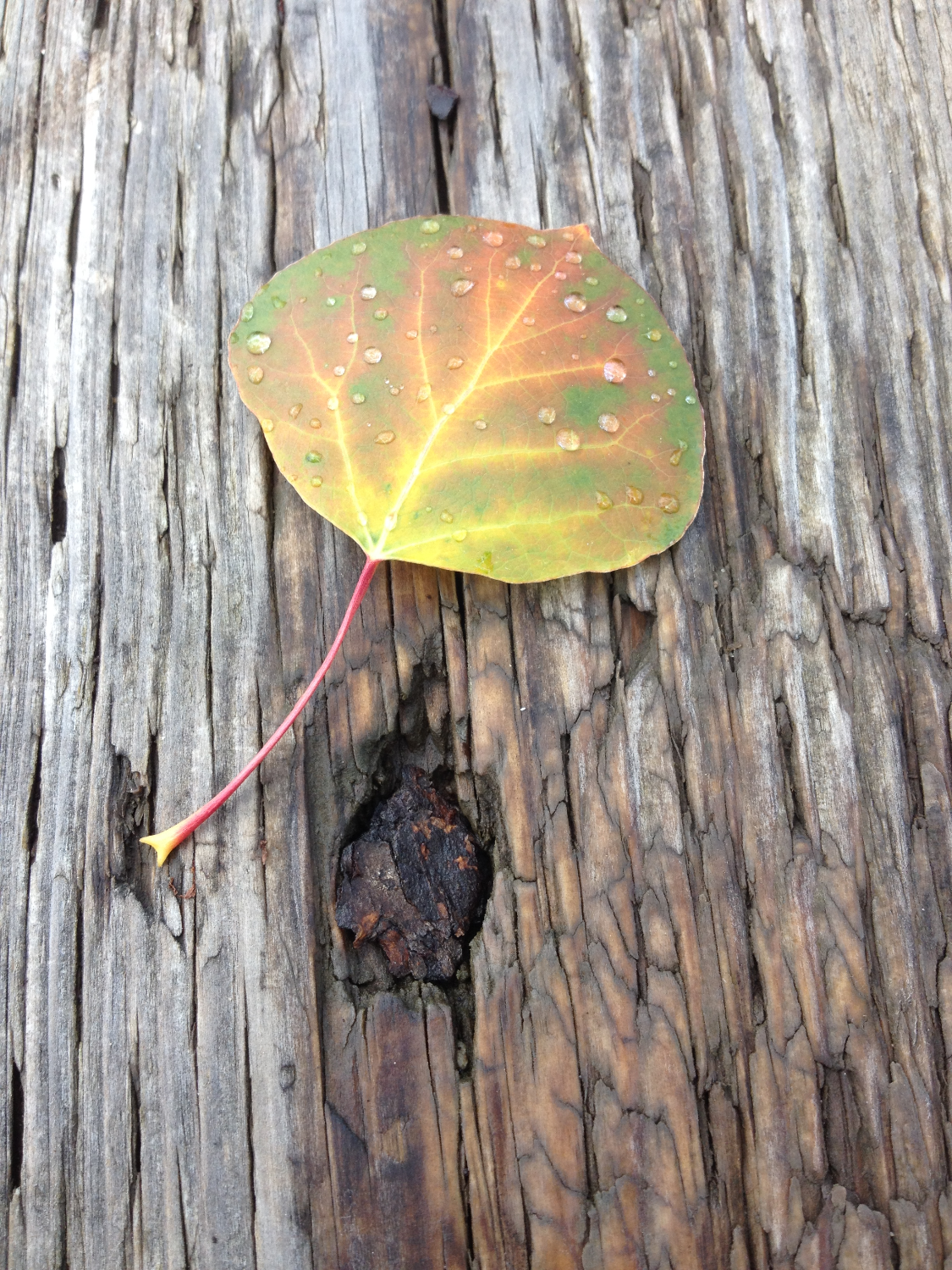 Aspen Leaf on Wood