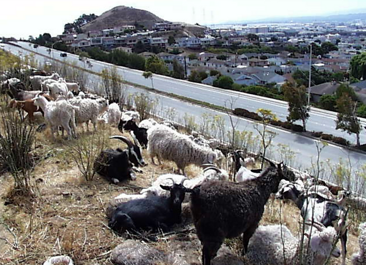 San Bruno Mountain Goats.png