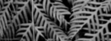 Background image of Fern Fronds, Hetch Hetchy