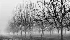 Orchard And Fog WEB.jpg