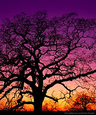 A picture of a Valley Oak tree in the Central California foothills is silhouetted against the evening twilight with the planet Venus visible in the evening sky