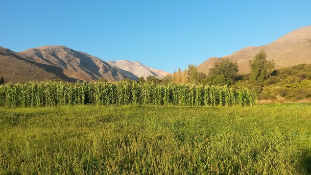 maiz y alfalfa al atardecer1.jpg