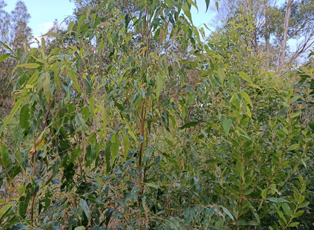 Plant Of The Month Tallowwood