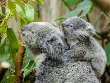Koala's Toxic Diet