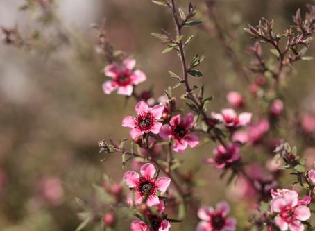 Plant Of The Month February - Leptospermum