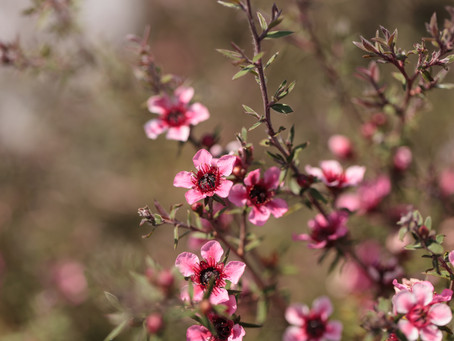 Plant Of The Month February - Leptospermum