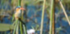 Malachite Kinfisher - Rivr Walks