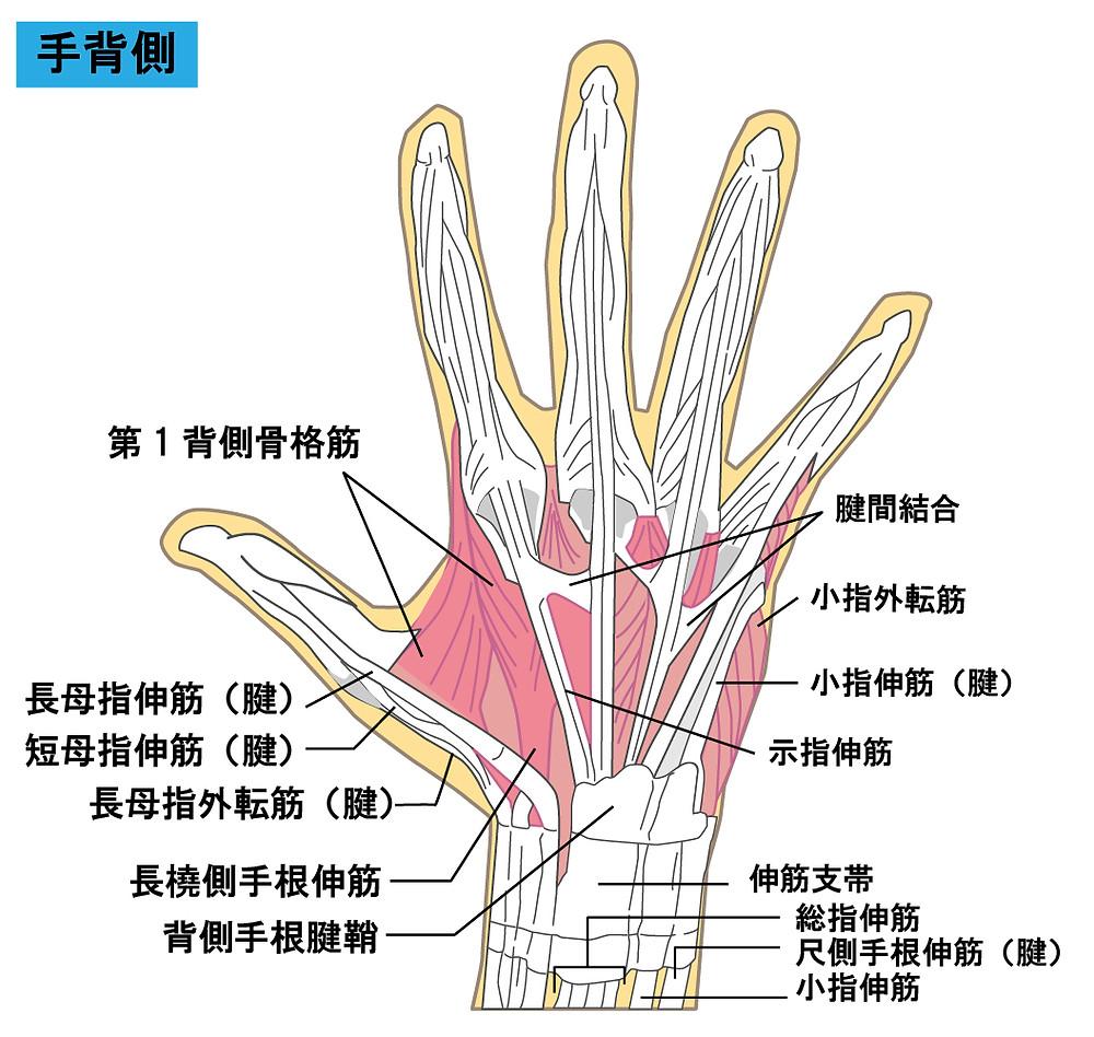 手の腱の図解