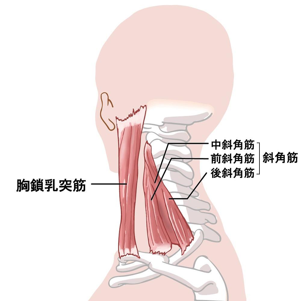 首の筋肉(胸鎖乳突筋)(斜角筋)