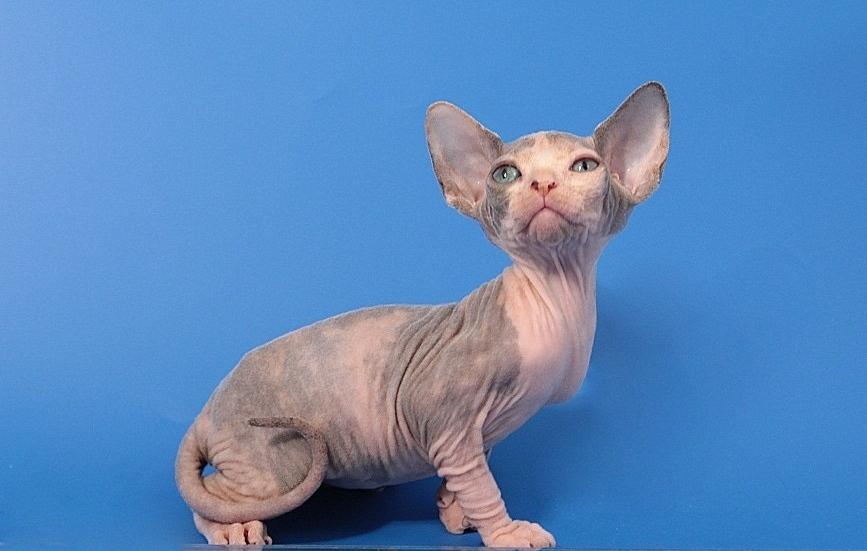 Sphynx Kittens   Vintage Cattery