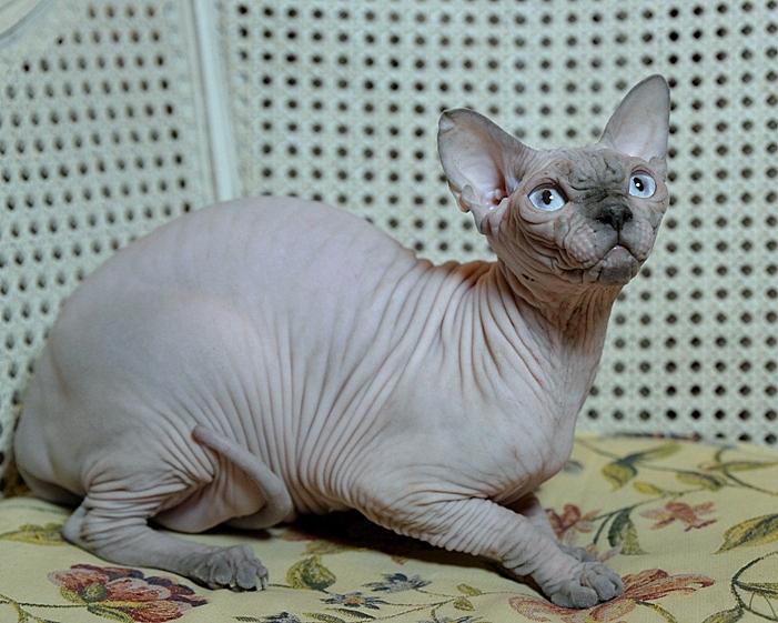 Sphynx Kittens | Vintage Cattery