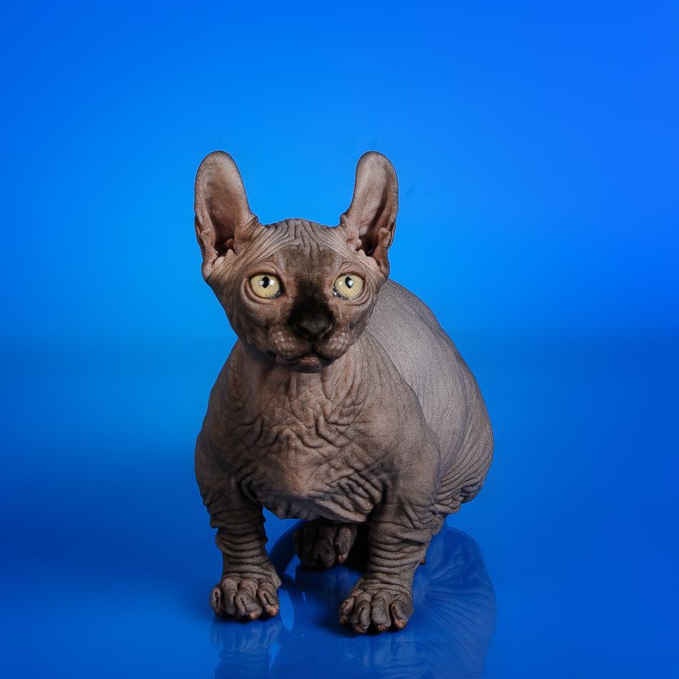 Dwelf Kittens | Vintage Cattery