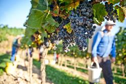 Weinernte in Österreich