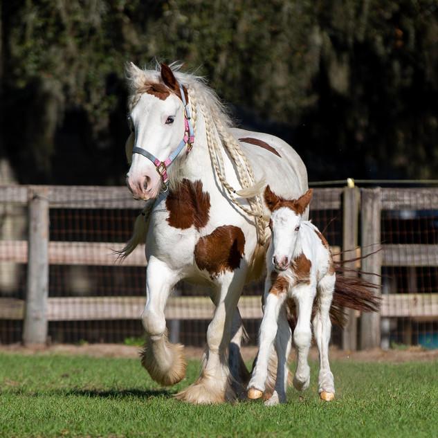 Gypsy_Vanner_Horses