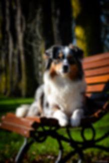 Berger austalien bleue merle, photographie, australian shepherd dog
