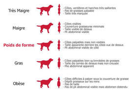 sch__ma_poids_du_chien_2_.jpg