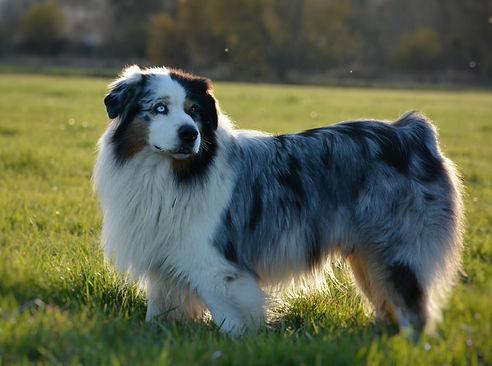 Australian Shepherd, berger australien Bleue Merle Montagne Etoilée Fifty