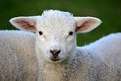lamb-292512_640.jpg