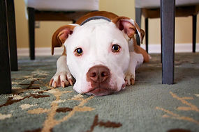 Puppy Under a Table