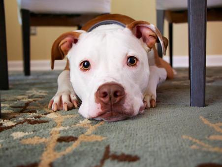 Cómo suplir los paseos de un perro
