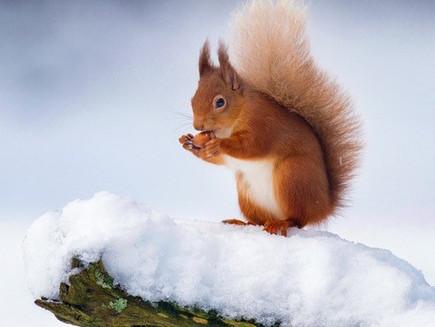 Das Eichhörnchen und das Weihnachtsgeschenk