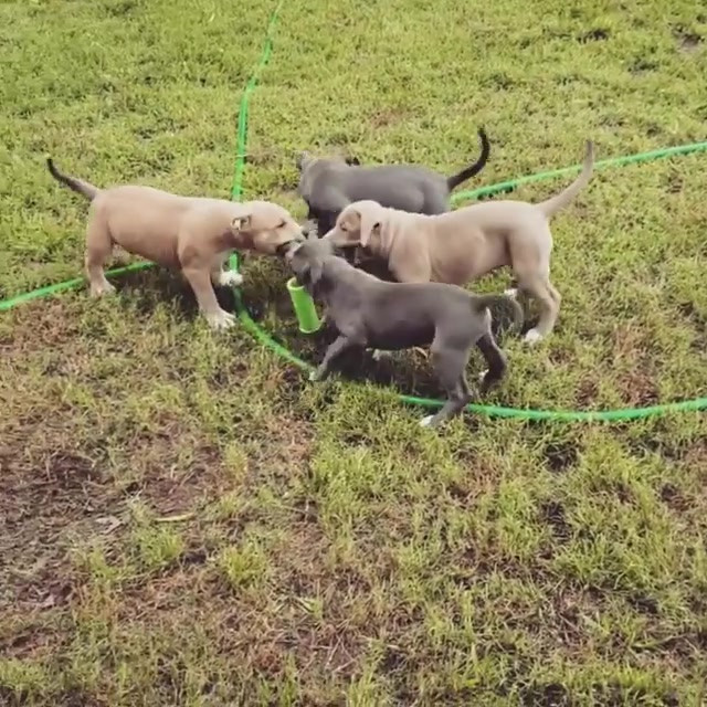 American pitbull bully puppies for sale Arkansas blue red registered puppy texas oklahoma missouri ohio xl adba ukc dog dogs fit athletic healthy health checked family backwood kennels backwoodpitbully watchdog bloodline Alabama Arizona California Florida New york Georgia Louisiana
