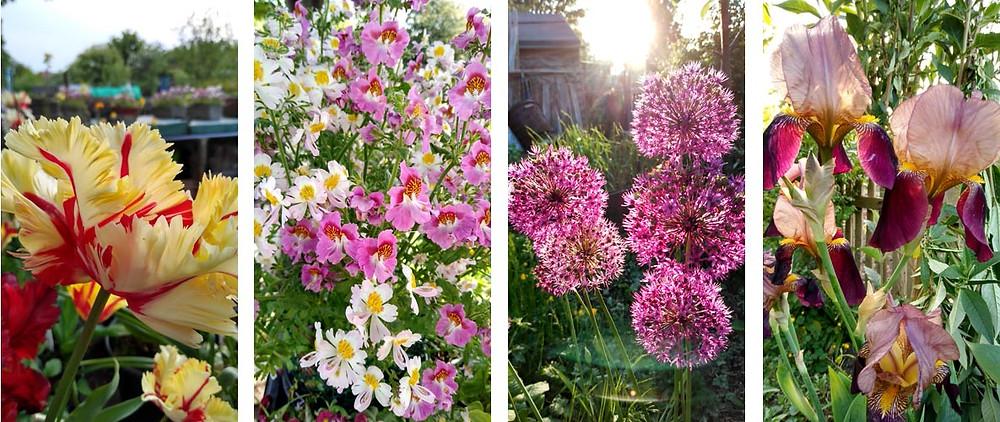 May flowers north east england moorside allotment association Newcastle upon Tyne alliums iris tulips pink