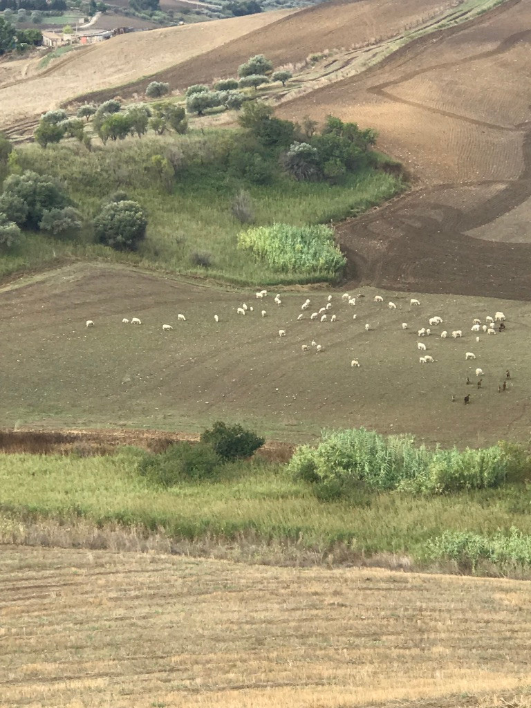Sheep and herding dogs.