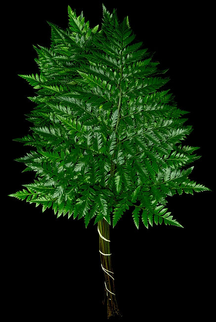 Leather Leaf Fern