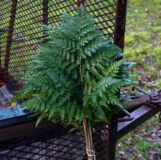 Leather Leaf Fern