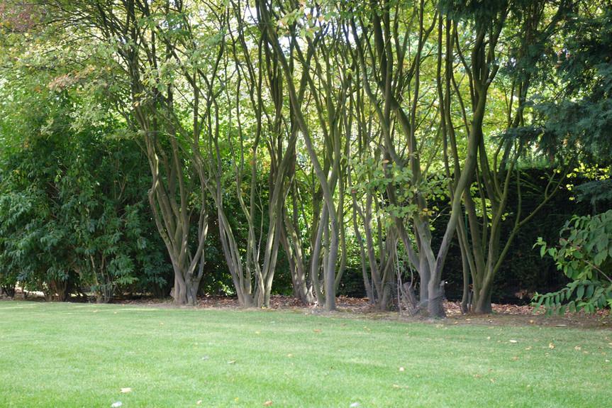 Plantations multi troncs
