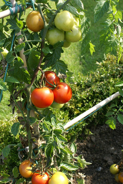 Permaculture -Tomates