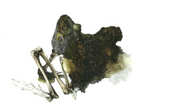 grenouille decharnee-bassdef