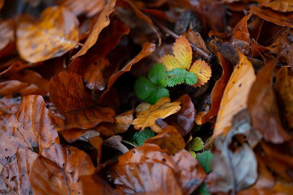 Herbstlaub mit grünen Erdbeerblättern