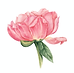 peony_watercolor_1.png