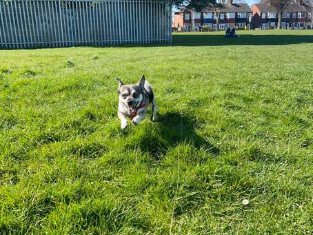 Dog walks with Opie!