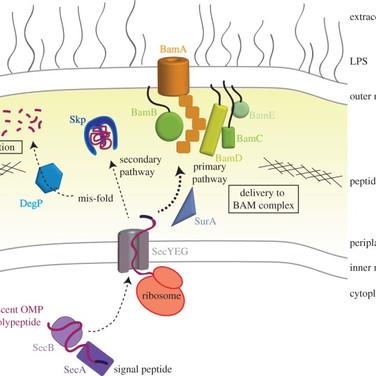OMP Biogenesis