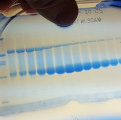 Nice SDS-PAGE gel...but....