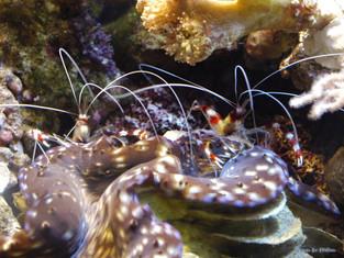 Couple de crevettes nettoyeuses