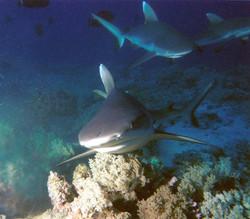 Requins de récif
