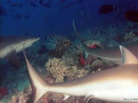 Requins de récif et mérou