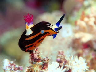 Limace nudibranche