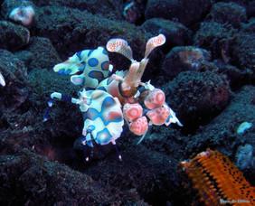 Crevette harlequin