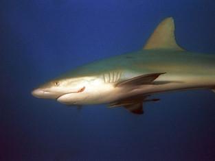 Requin et rémora