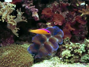 Pseudochromis,bénitier et fonge