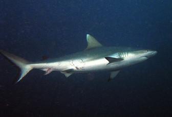 Requin femelle après l'accouplement