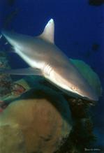 Requin de récif