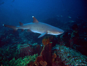 Requin pointes blanches