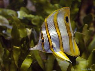 Papillon à bec
