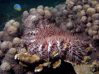 Etoile dévoreuse de corail